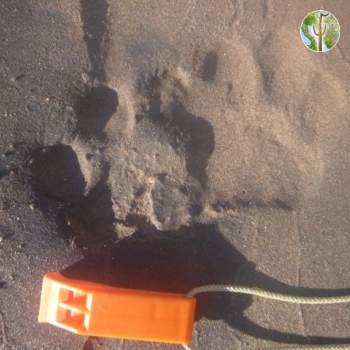 Likely jaguar tracks across from Badesi