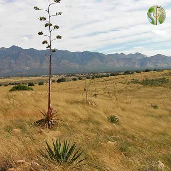 Flowing agave at Los Fresnos, Sonora