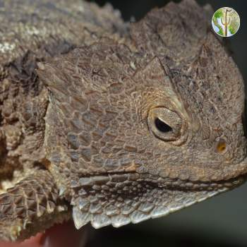 Adult Phrynosoma ditmarsi - head