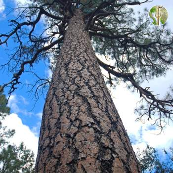 Ponderosa pine without lower limbs