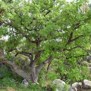 Quercus chihuahensis dominate the mountain