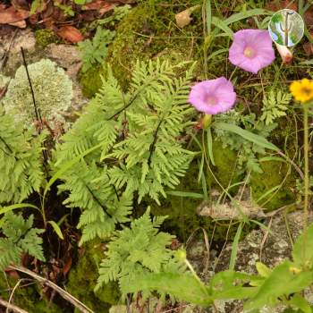 Ferns and morning glory species