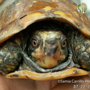 Terrapene nelsoni, spotted box turtle (©Samia Carrillo)