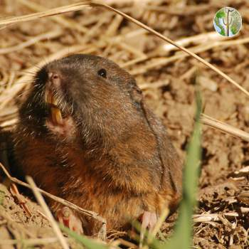 Thomomys bottae, Bottas pocket gopher
