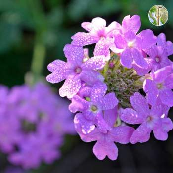 Verbena gooddingii with dew