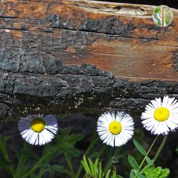 Aster and burnt log