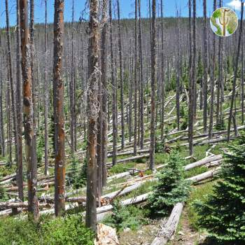 Spruce forest killed by bark beetles