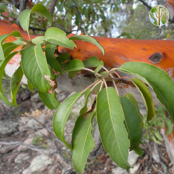 Arbutus xalapensis leaves and bark