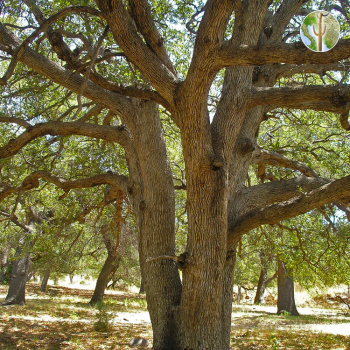 Large Quercus arizona (Arizona white oak) trunk and branches