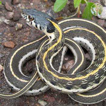 Black-necked gartersnake