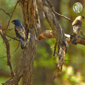 Blue grosbeak male and female