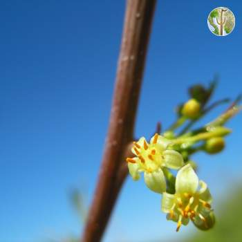 Bursera fagaroides flower close-up