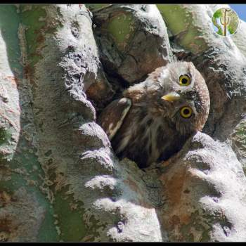 Cactus ferruginous pygmy-owl with sideways head
