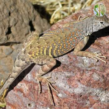 Cophosaurus texanus - Greater Earless Lizard