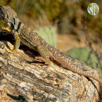 Crotaphytus collaris, eastern collared lizard