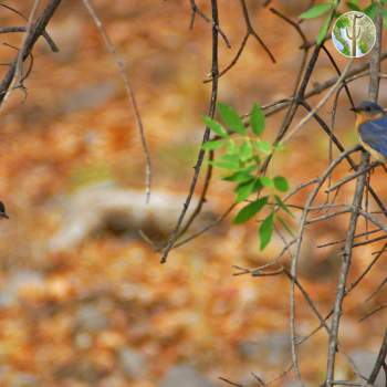 Eastern bluebird with young