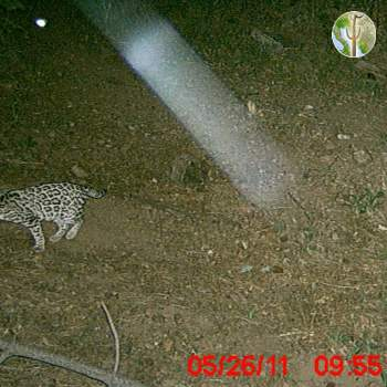 Photo of an Ocelot in the Huachuca Mountains - May 2011