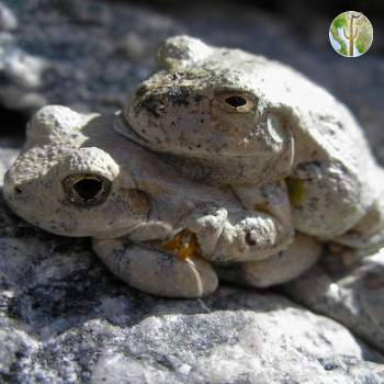 Hyla arenicolor, canyon tree frog