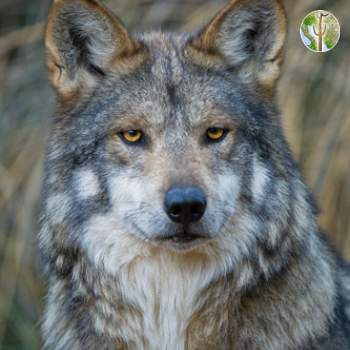 Mexican Gray Wolf © Robin Silver