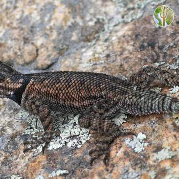 Mountain spiney lizard