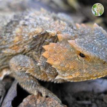 Phrynosoma hernandesi - greater short-horned lizard