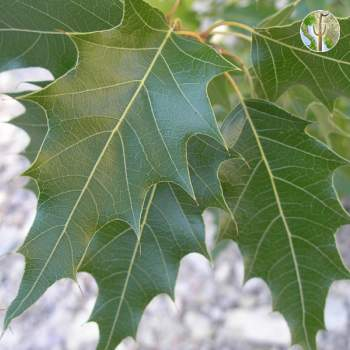 Quercus albocincta leaves
