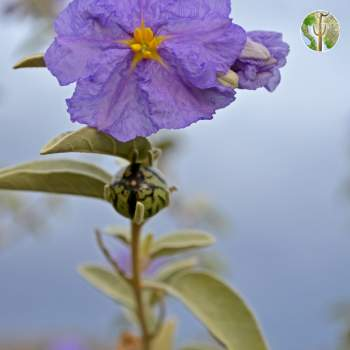 Solanum hindsianum flower and fruit