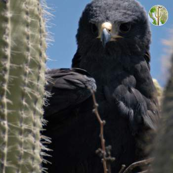 Zone-tailed hawk on nest in saguaro