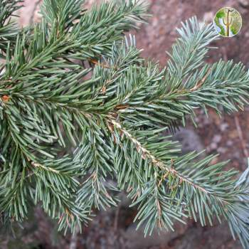 Abies lasiocarpa (corkbark fir) needles