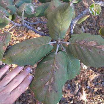 Quercus tarahumara leaves