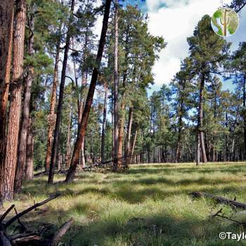 Healthy ponderosa pine forest vegetation community (©Taylor McKinnon)