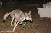 Young Mexican Grey Wolf released in Sonora (All rights reserved by SEMARNAT)