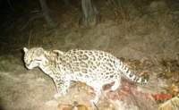 3rd image of the resident ocelot in the Huachuca Mountains