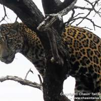 Jaguar in Arizona, Nov. 2011 (©Chasin Tail Guide Service)