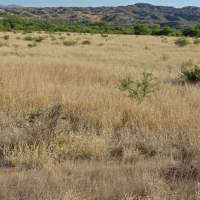 Buffel-grass converted desert