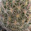 Echinomastus erectocentrus var. erectocentrus (Needle-Spined Pineapple Cactus)