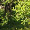 Salix scouleriana, Scouler willow