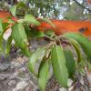 Arbutus xalapensis leaves and bark