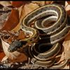 Black-necked gartersnake in ash leaves