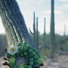 Hanging saguaro arm with flowers and buds