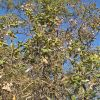 Quercus tarahumara full tree