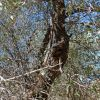 Quercus emoryi
