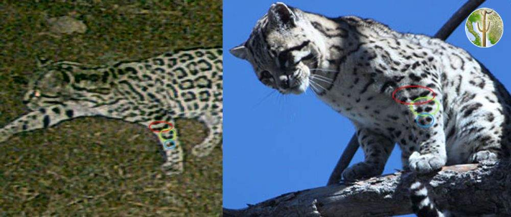 Ocelot photo comparison from the Huachuca Mountains, AZ