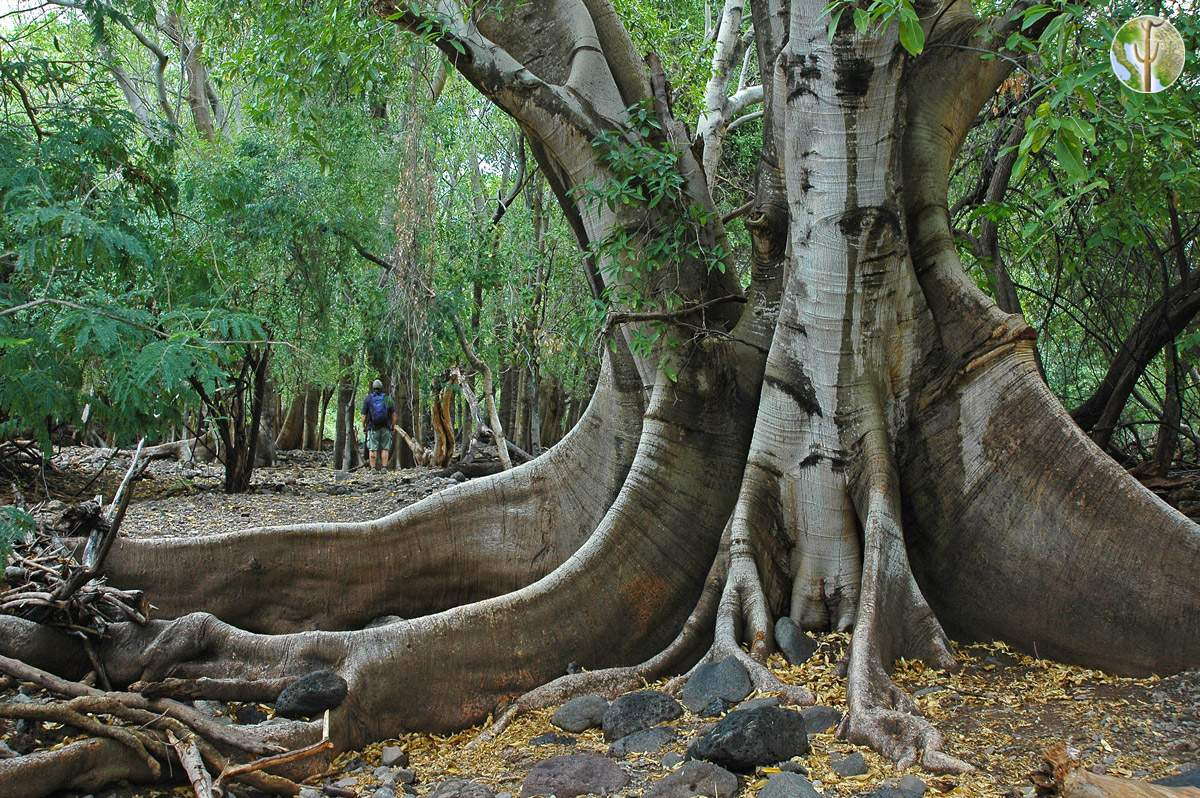Ficus insipida with huge buttress roots