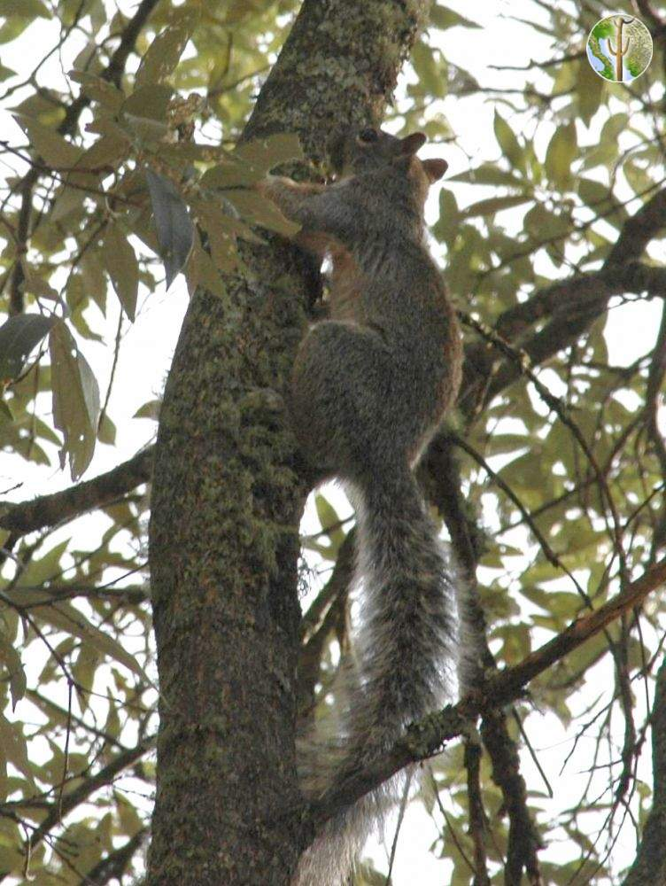 Mexican Fox Squirrel in Sierra Huachinera