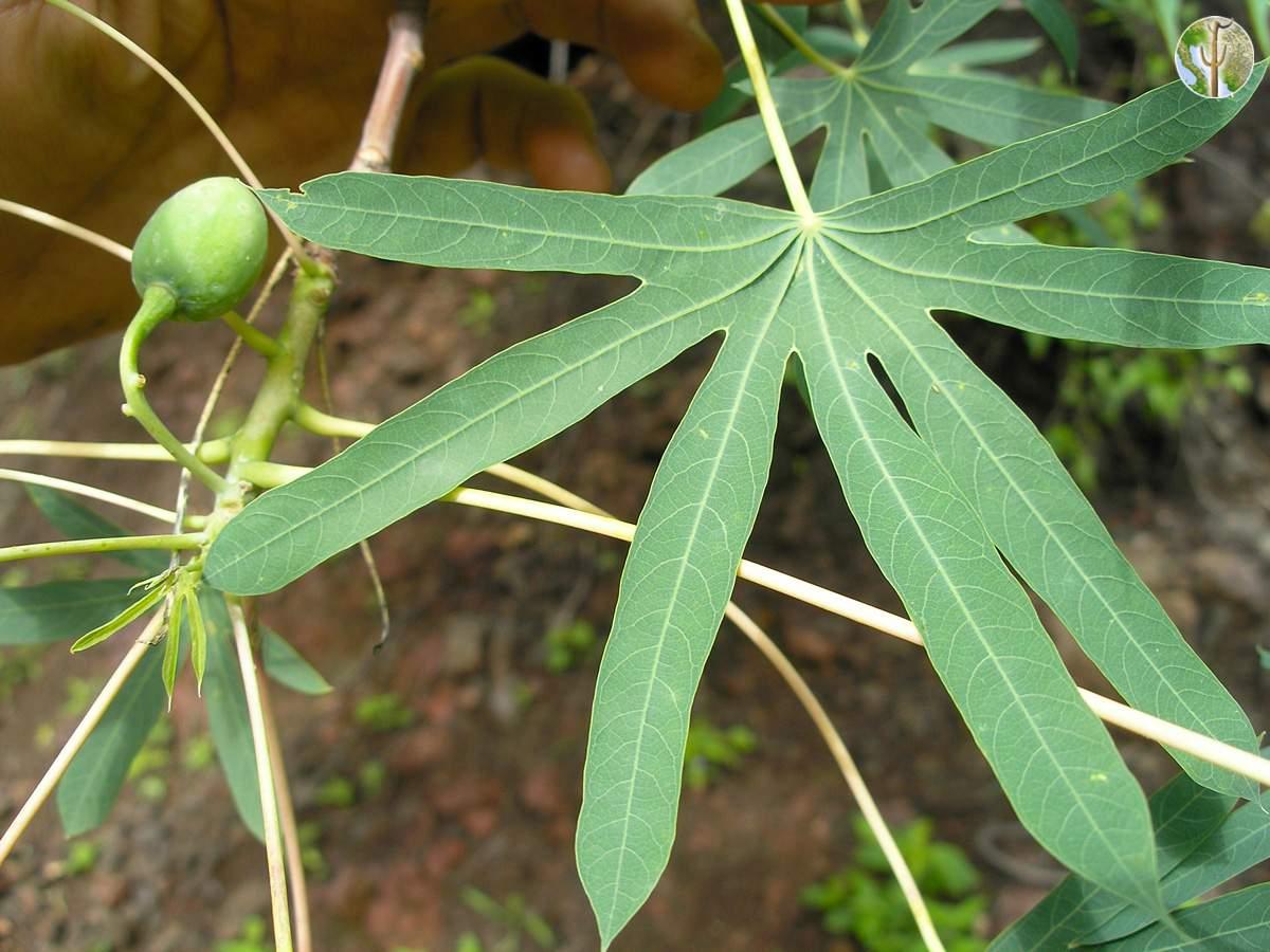 Rubricaulis