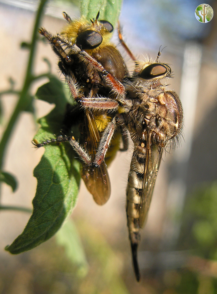 Robber fly eating another fly