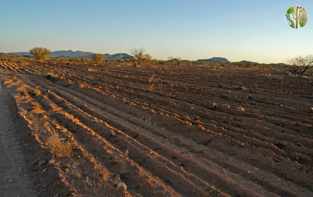 Tilling the Sonoran Desert for cattle