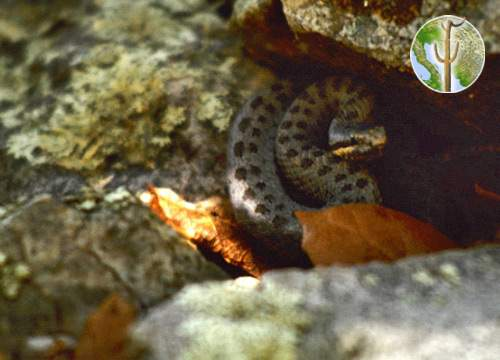 Crotalus pricei, twin-spotted rattlesnake