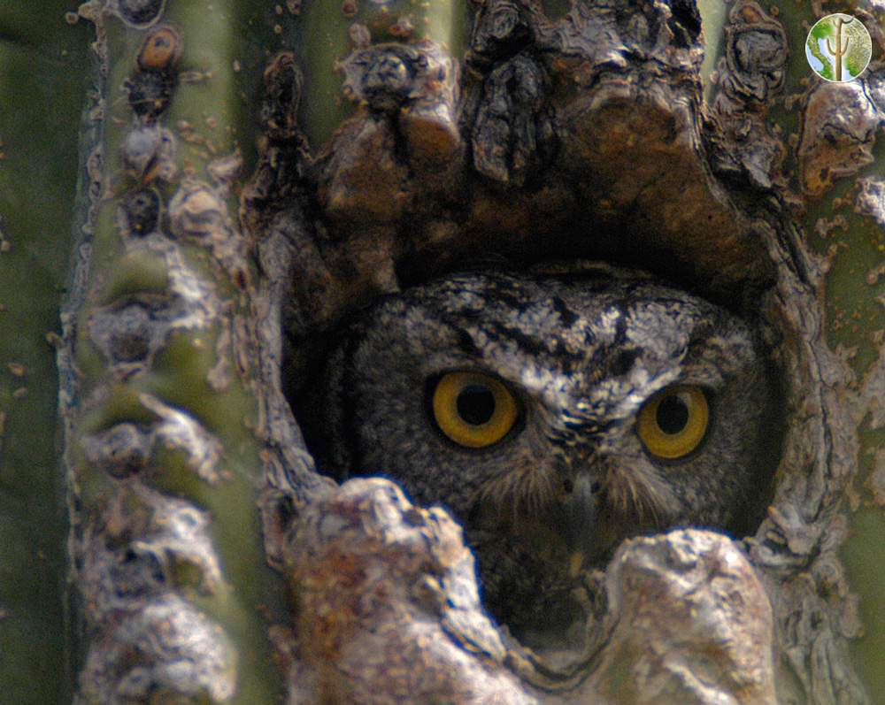 Western screech-owl in saguaro cavity